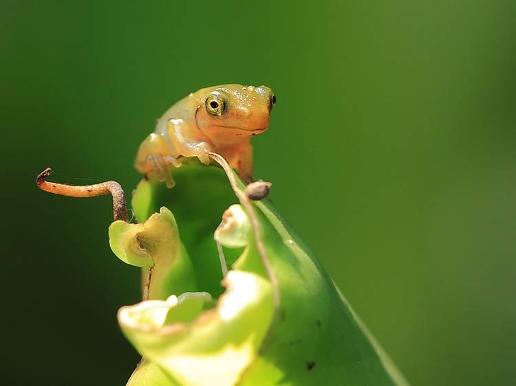 Новорожденная древесная лягушка
