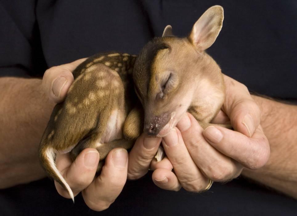 Новорожденный олененок фото
