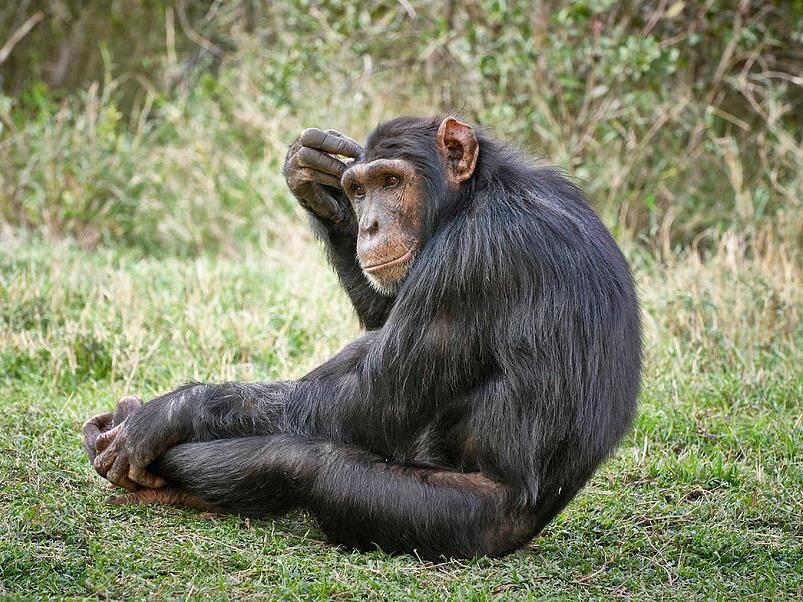 Обезьяна шимпанзе фото