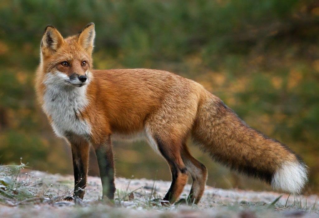 Обыкновенная лисица (рыжая лисица) (лат. Vulpes vulpes)