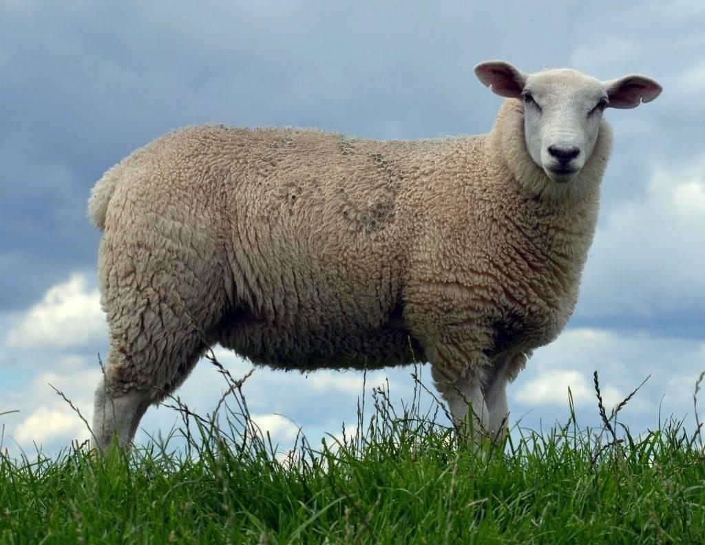 Овца домашняя (лат. Ovis aries)