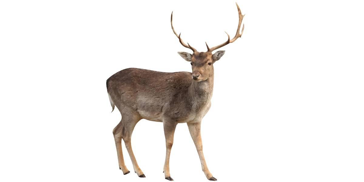 Интересная и полезная информация об олене! Благородный олень: описание вида, где обитает