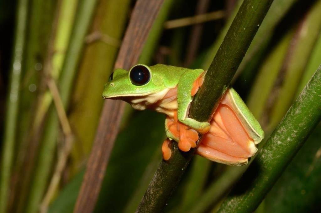 Оранжевобокая квакша фото (лат. Agalychnis moreletii)