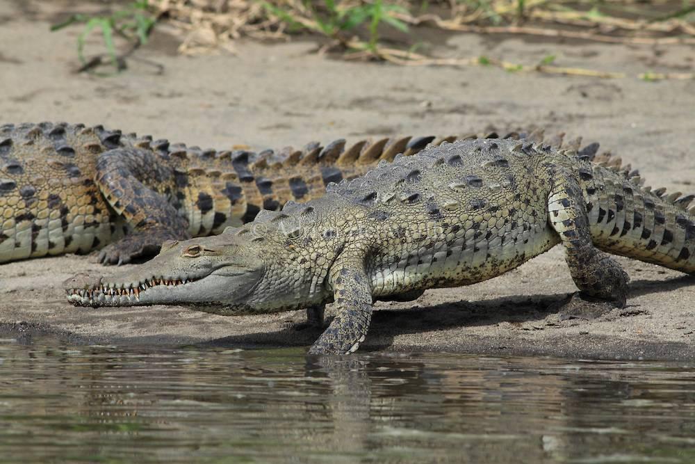 Острорылый крокодил (лат. Crocodylus acutus)