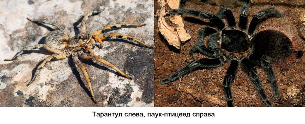 Отличие тарантула от паука птицееда