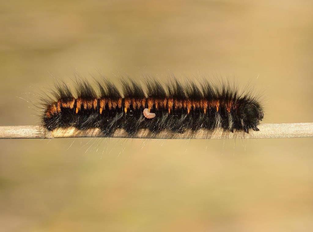 Паразитирующая личинка на гусенице Macrothylacia rubi