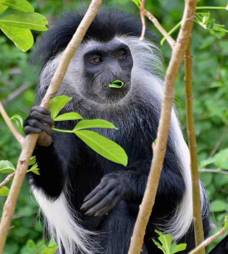 Пища обезьян