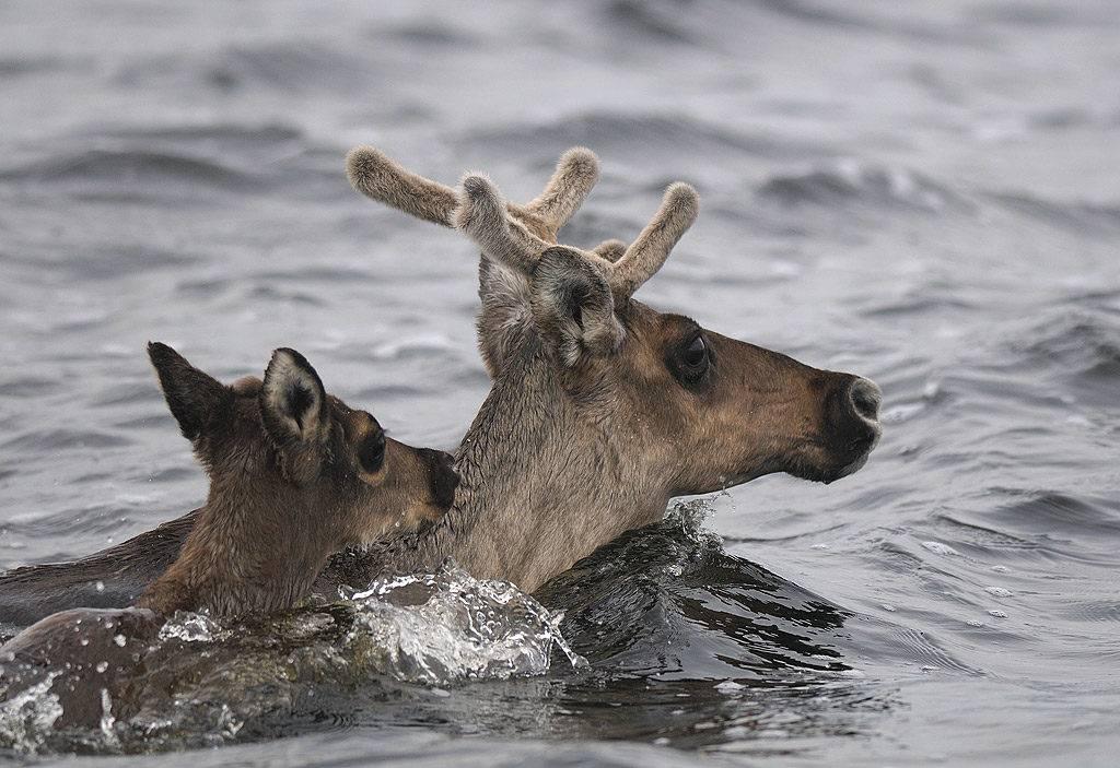 Плывущий олень фото