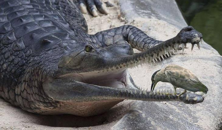 Птица, которая чистит зубы крокодилу