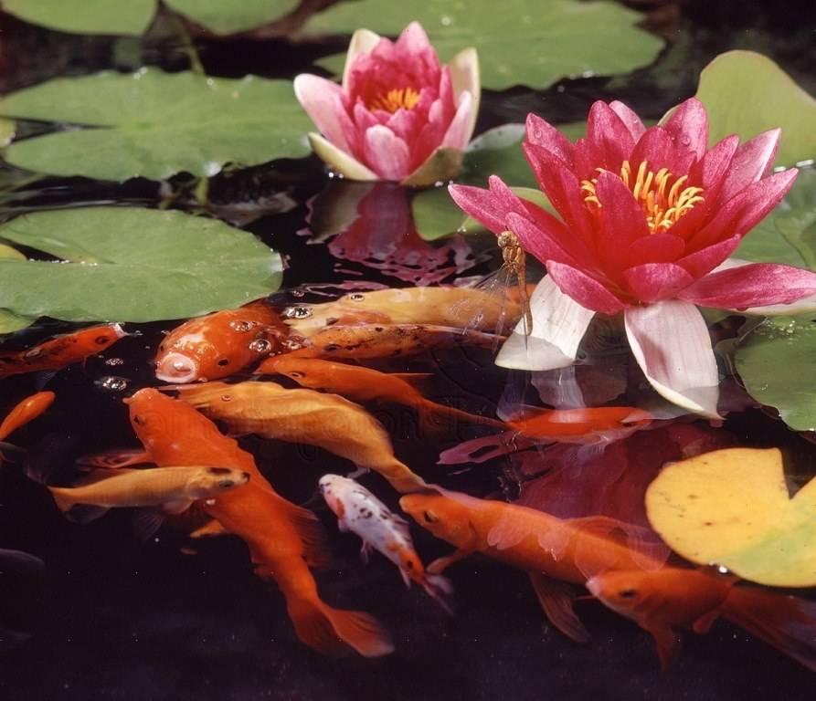 Разведение карася в пруду
