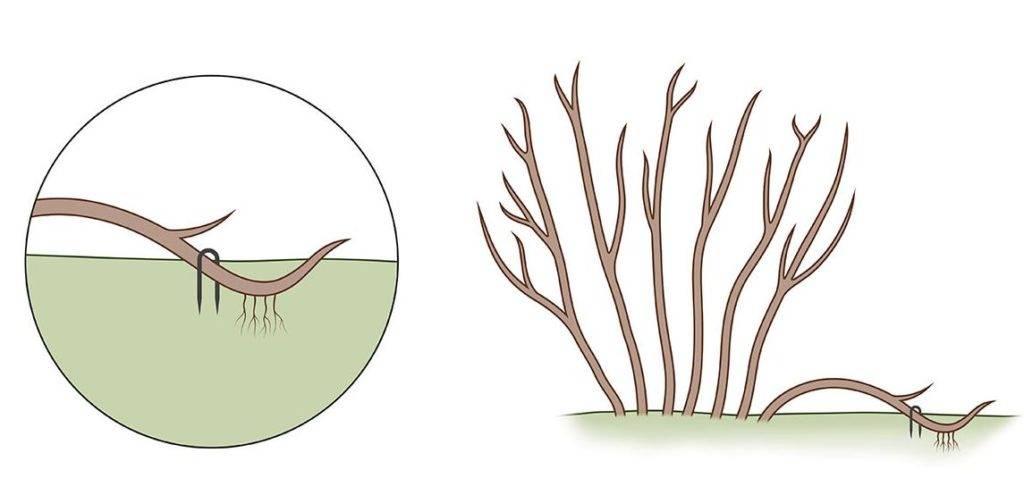 Размножение гвоздики отводками фото