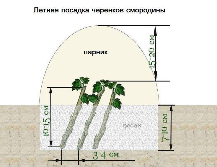 Размножение смородины зелеными черенками летом - схема