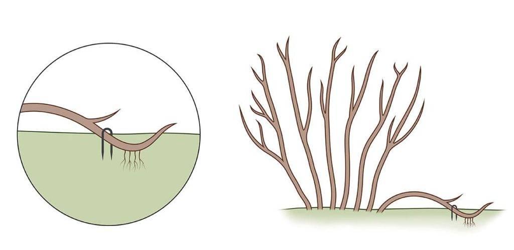Размножение смородины отводками фото