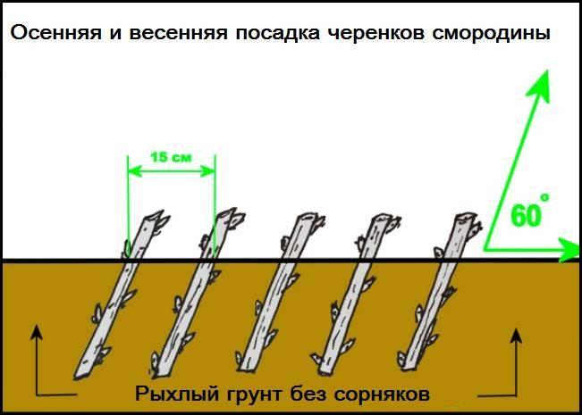 Размножение смородины черенками осенью и весной - схема