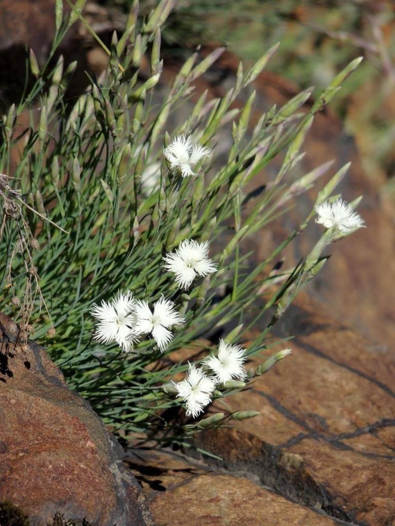 Растение гвоздика иглолистная фото (лат. Dianthus acicularis)