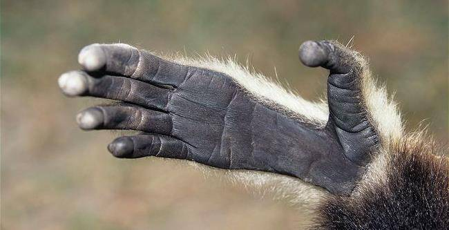 Рука (лапа) обезьяны гиббона фото