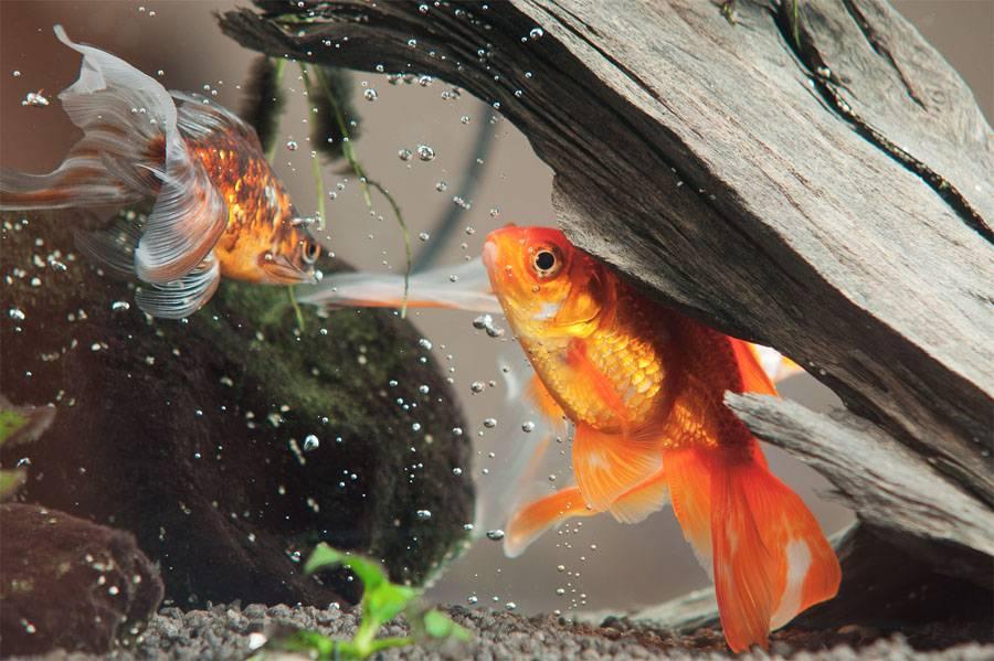 Рыба карась фото (вид – золотая рыбка)