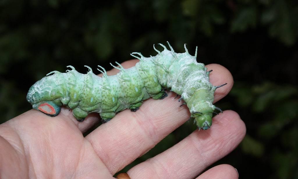 Самая большая гусеница в мире – гусеница павлиноглазки атлас