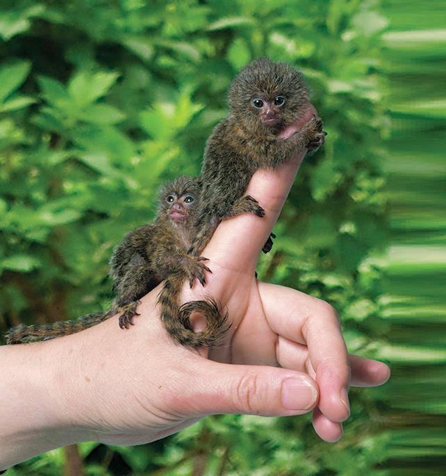 Самая маленькая обезьяна в мире фото - карликовая игрунка (лат. Cebuella pygmaea)