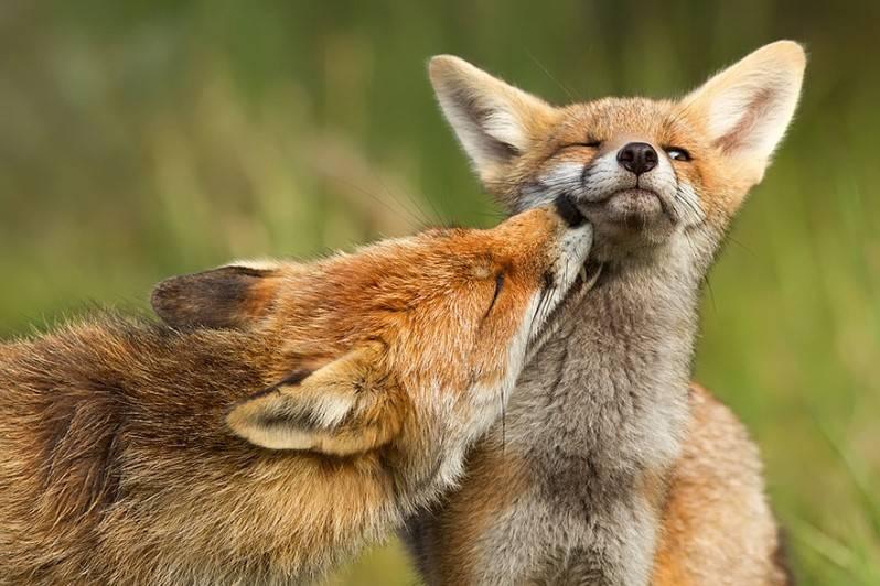 Самец и самка лисы