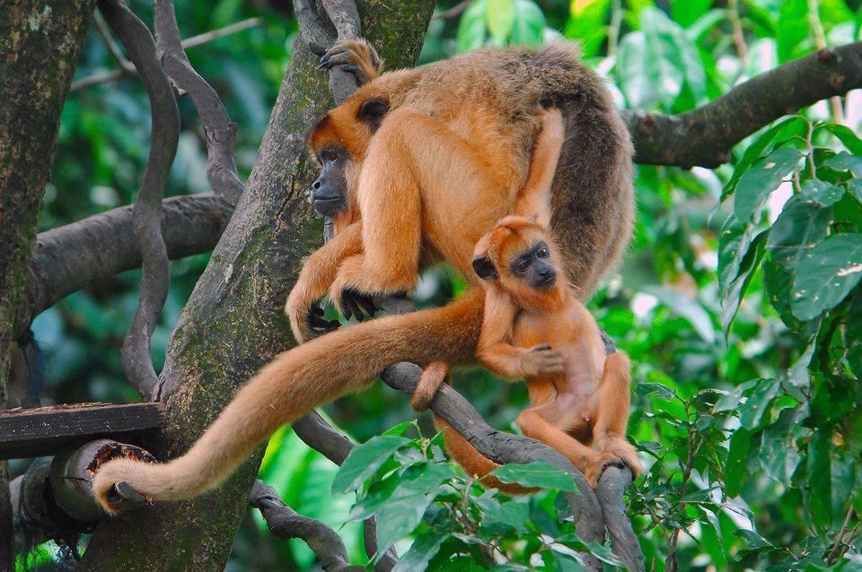 Самка обезьяны с детенышем
