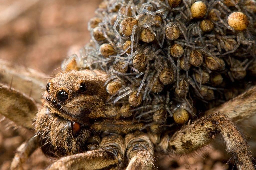 Самка тарантула с детенышами на спине