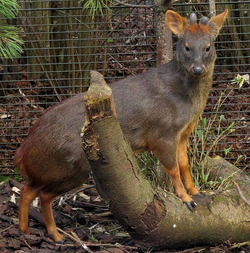 Самый маленький олень в мире (пуду)