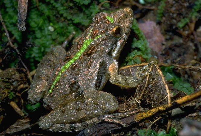 Сверчковая квакша (лат. Acris gryllus)