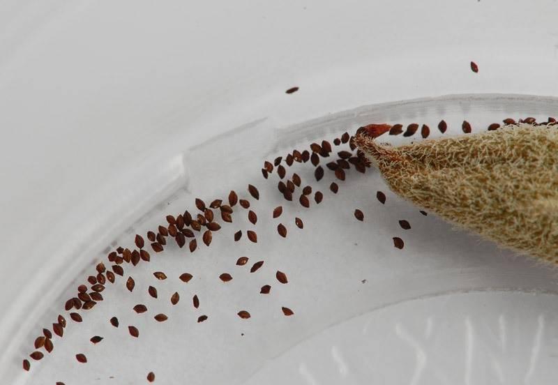Семена фиалки сенполии фото
