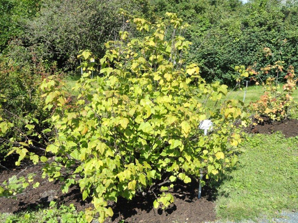 Смородина дикуша (алданский виноград) (лат. Ribes dikuscha)