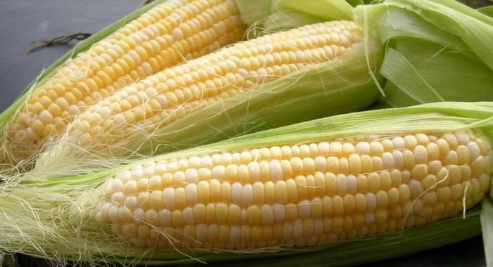 Сорт кукурузы Кадр 443 СВ