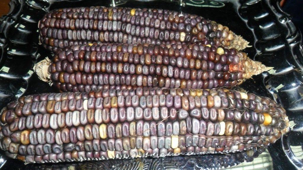 Сорт кукурузы Cherokee Blue