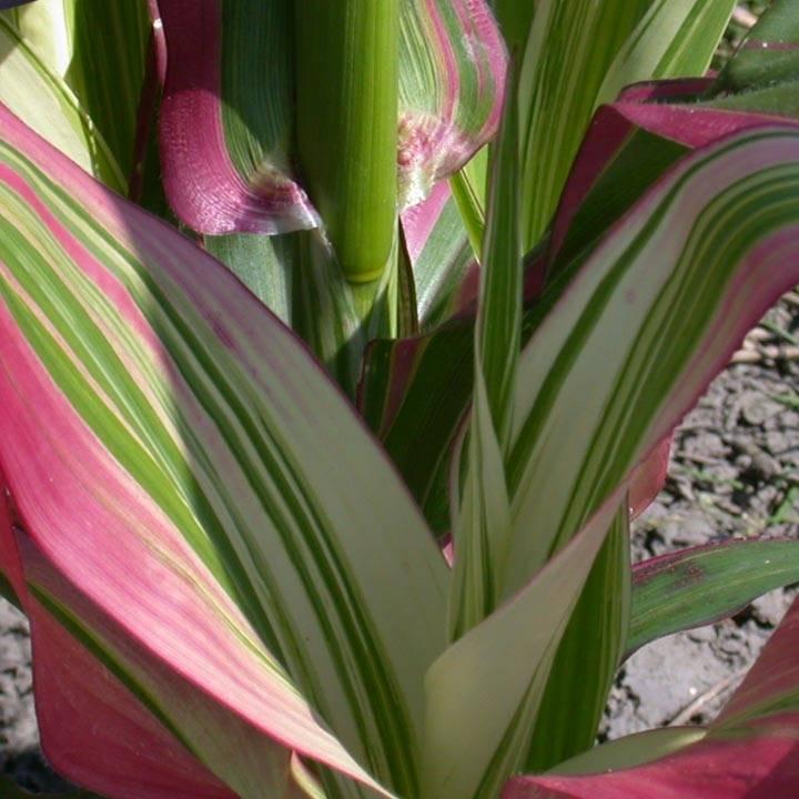 Сорт японской кукурузы Перламутровое чудо
