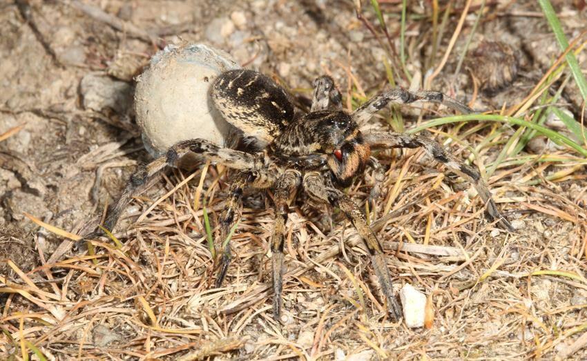 Тарантул самка фото (вид Lycosa singorensis)