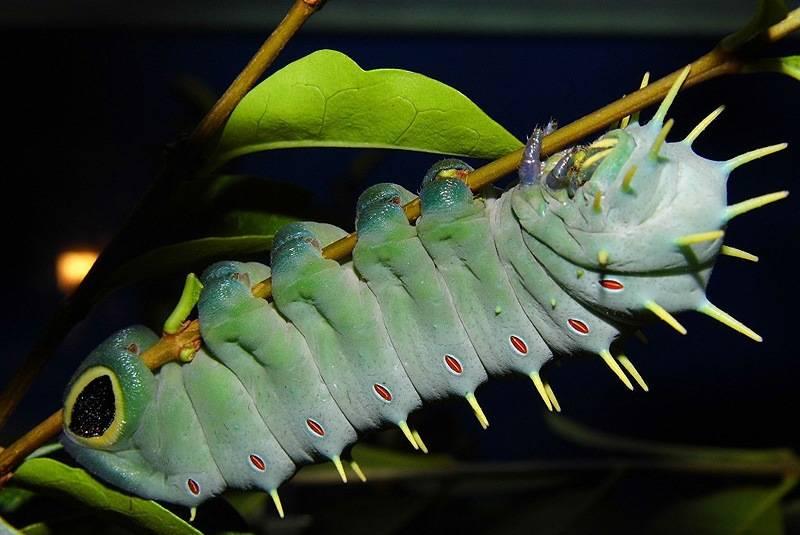Толстая голубая гусеница Павлиноглазки Геркулес (лат. Coscinocera hercules)