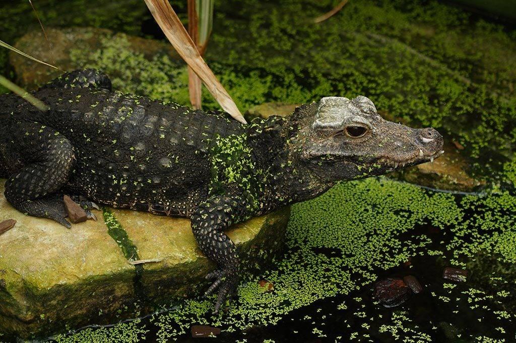 Тупорылый крокодил (лат. Osteolaemus tetraspis)
