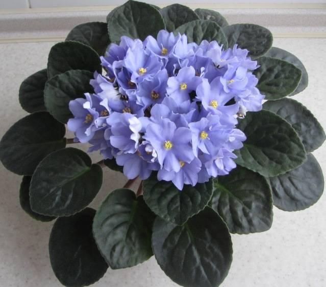 Фиалка голубая сорт Rhapsodie Clementine (Рапсодия Клементина)