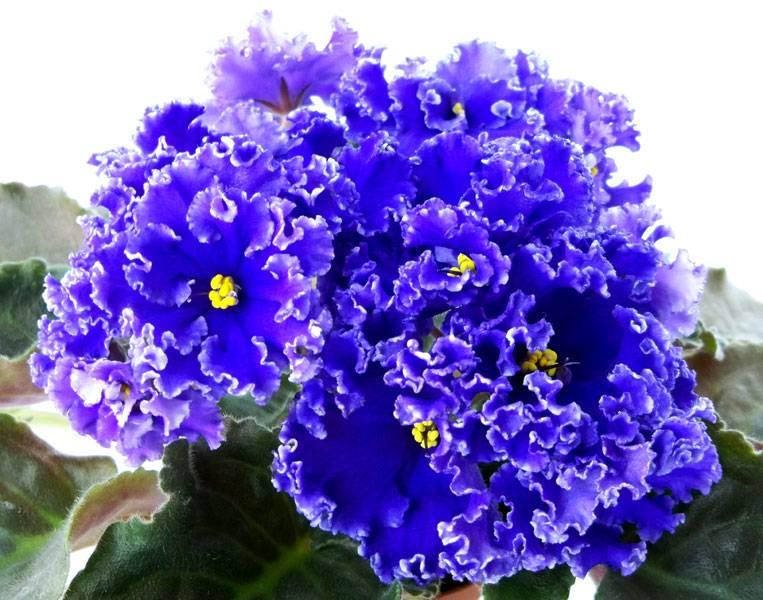 Фиалка синяя сорт ЕК - Cиний Иней