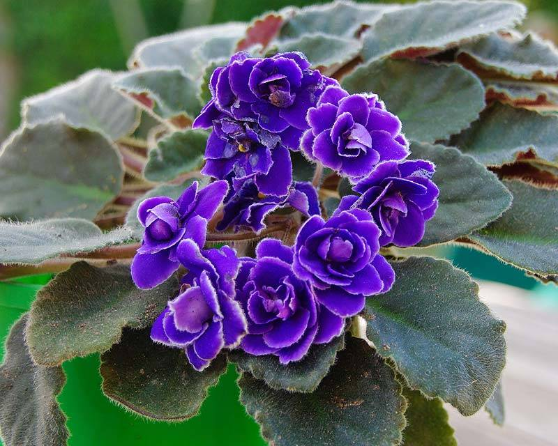 Фиалкоцветковая или фиалкоцветная сенполия (лат. Saintpaulia ionantha)