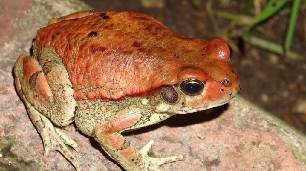 Фото африканской красной жабы