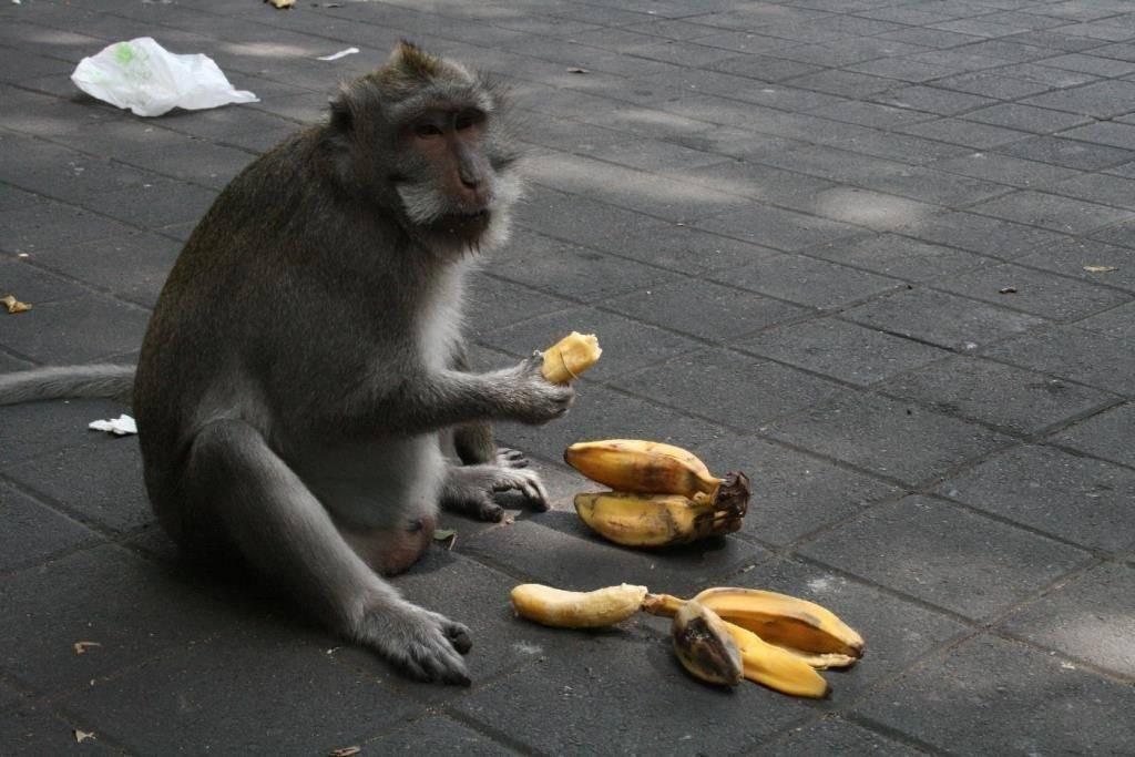 Фото обезьяны с бананом