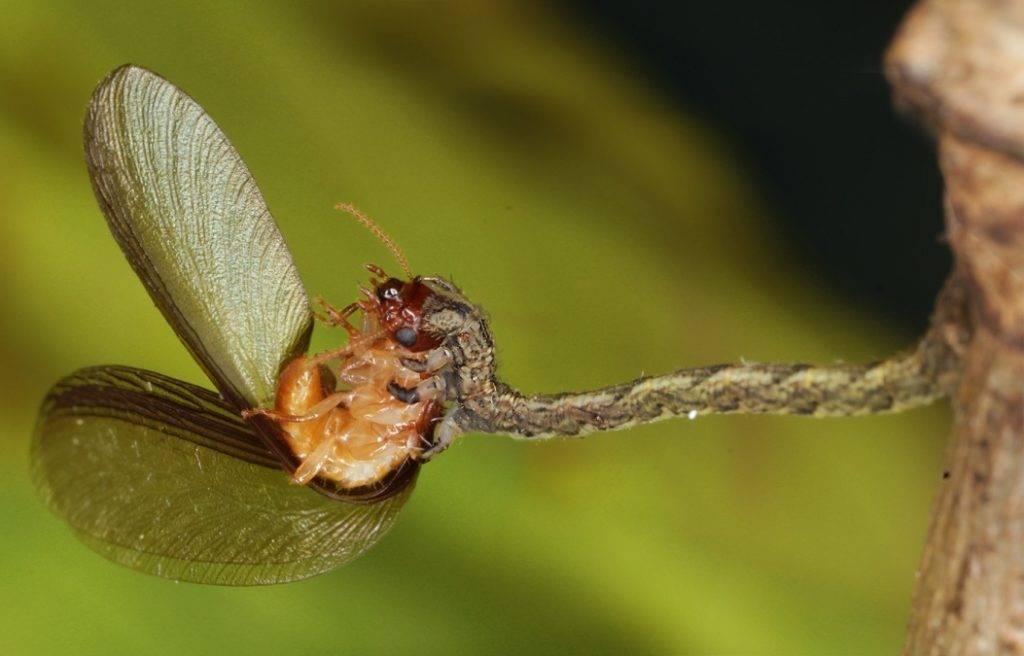 Хищная плотоядная гусеница из рода бабочек-пядениц Eupithecia