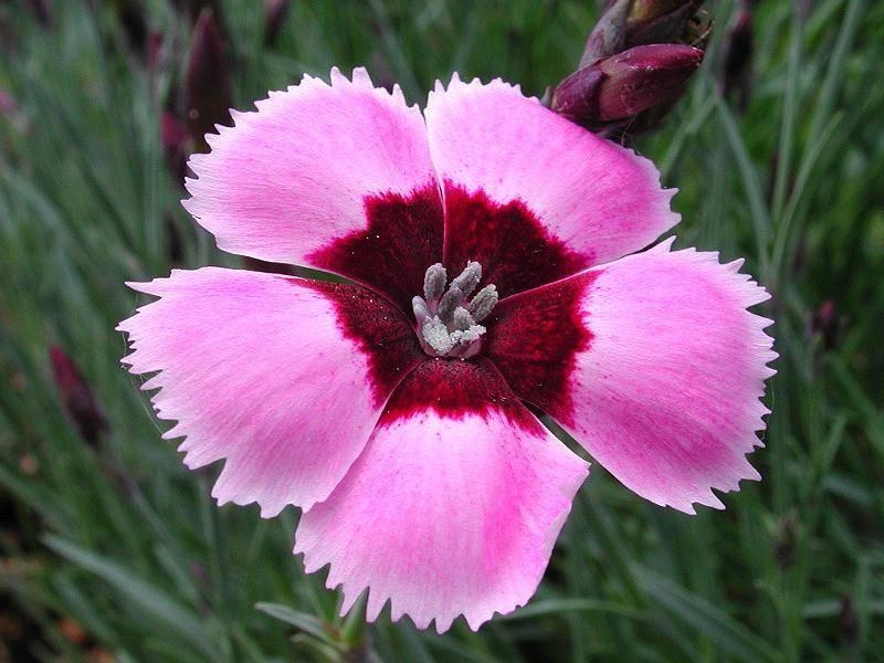 Цветок гвоздики перистой фото