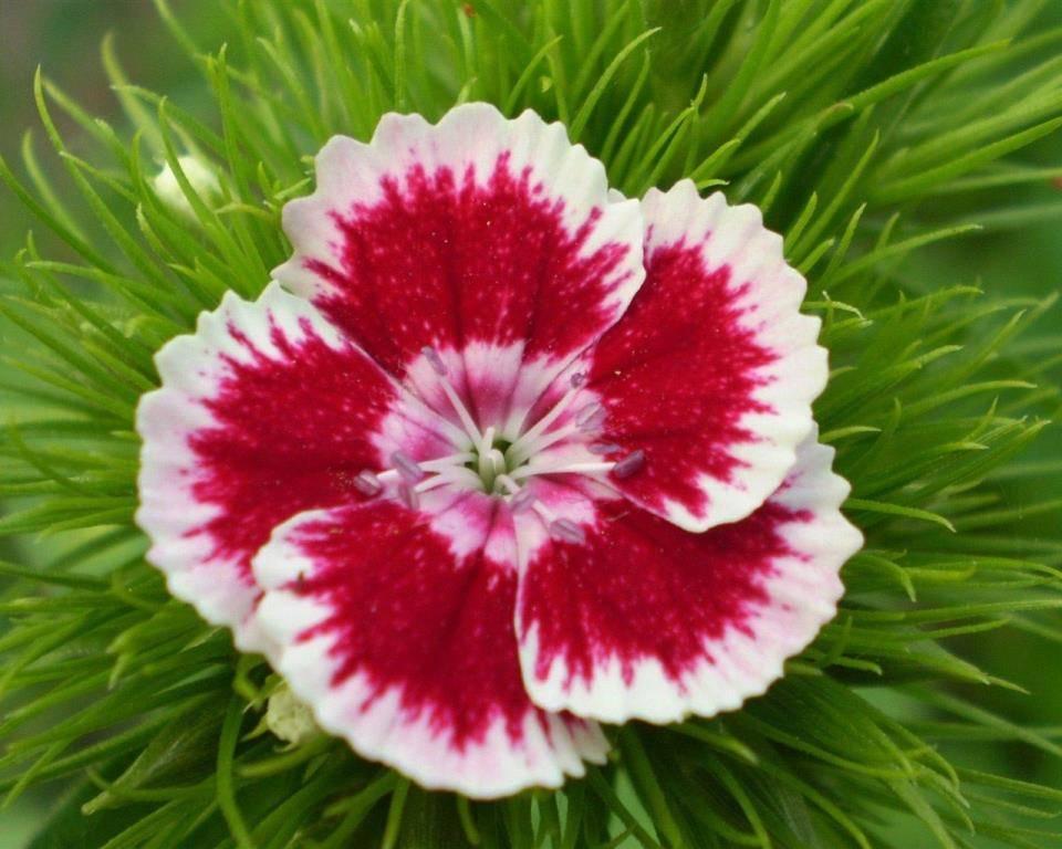 Цветок гвоздики фото