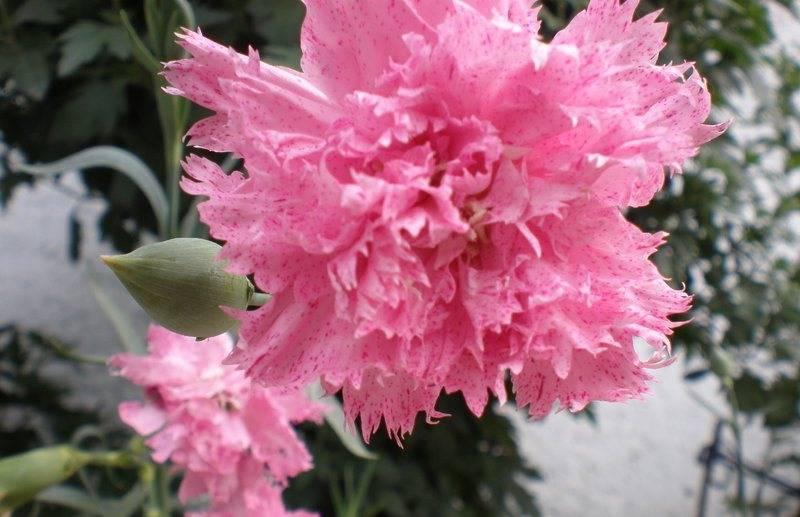 Цветы гвоздика Шабо фото