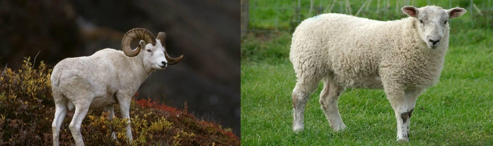 Половой член овца