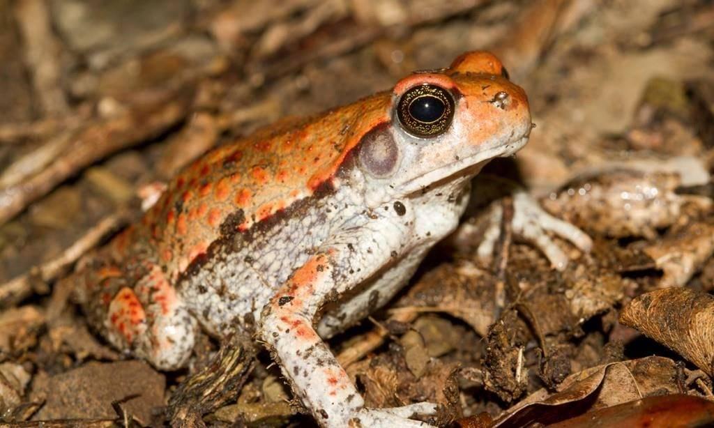 Чем питается африканская красная жаба