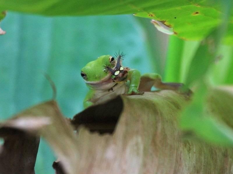 Чем питаются древесные лягушки фото