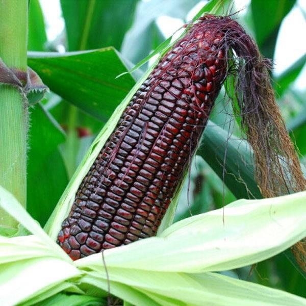 Черная восковидная кукуруза фото