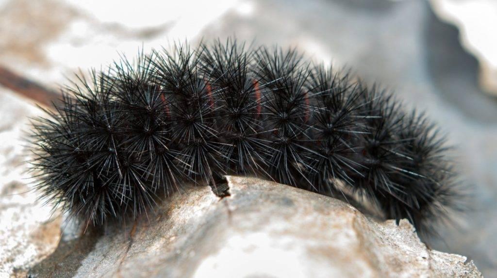 Черная мохнатая гусеница гигантского леопардового мотылька (лат. Hypercompe scribonia)